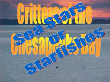 Critters of the Chesapeake Bay Sea Stars or Starfishes.