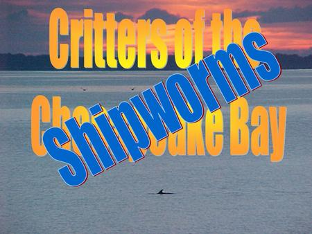 Shipworms Shipworms are not worms. Think you know what they are?