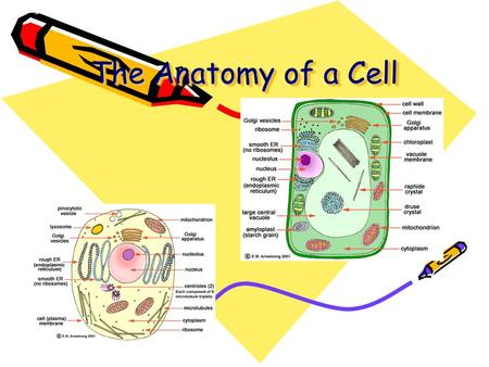The Anatomy of a Cell. From the Outside In… Cell Wall rigid structure located on the outside of the cell Function: Support and Protection Found: Plants,