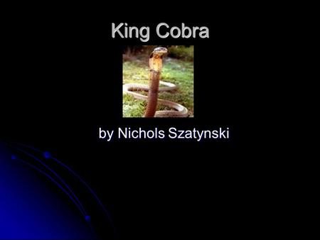 King Cobra by Nichols Szatynski. What layer does this animal live in? The King Cobra lives in the Understory layer of the Rainforest when it is in the.
