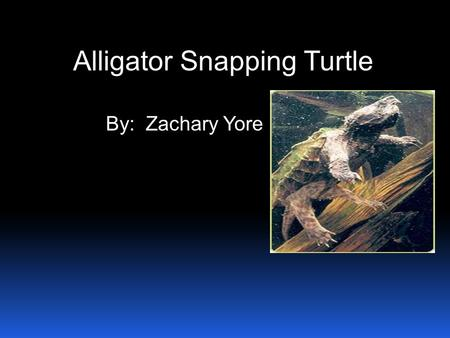 Alligator Snapping Turtle By: Zachary Yore. The alligator snapping turtle is endangered. The alligator snapping turtle eats meat and his diet is plants.