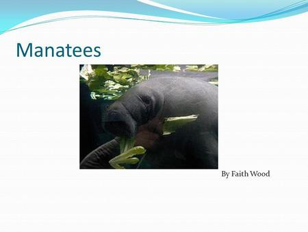Manatees By Faith Wood What it Looks Like They look like walruses. They look a little like mermaids. They look a little like you would call them sea.