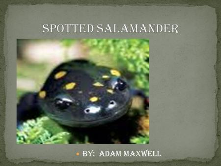 By: adam maxwell. THEY HAVE YELLOW AND BLACK SPOTS. IT LOOKS LIKE FLAMES. THEY HAVE FOUR LEGS AND A LONG TAIL.