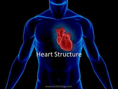 Www.clickbiology.com Heart Structure. www.clickbiology.com Blood travels through the heart twice before returning to the body The double circulatory system.
