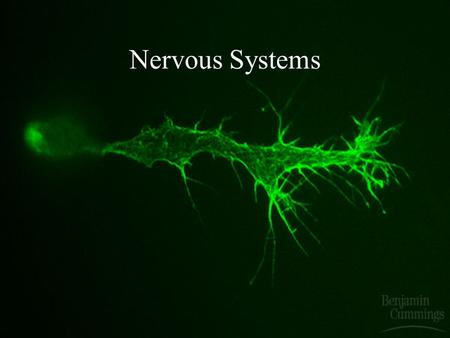 Nervous Systems Structure of a Vertebrate Neuron.