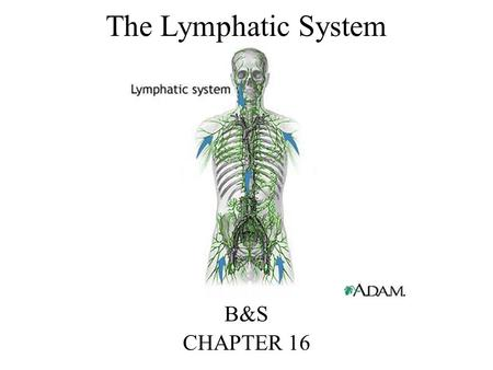 The Lymphatic System B&S CHAPTER 16. The Lymphatic System Can be considered a supplement to the circulatory system The lymphatic system is different from.