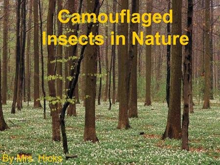 Camouflaged Insects in Nature By Mrs. Hicks. What is camouflage? Camouflage means how insects hide themselves from their predators. Do you see the cricket.