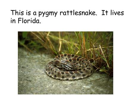 This is a pygmy rattlesnake. It lives in Florida..
