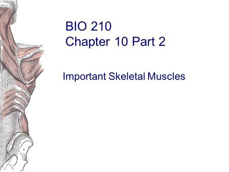 BIO 210 Chapter 10 Part 2 Important Skeletal Muscles.