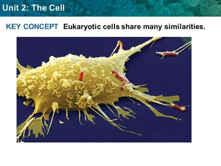 Unit 2: The Cell KEY CONCEPT Eukaryotic cells share many similarities.