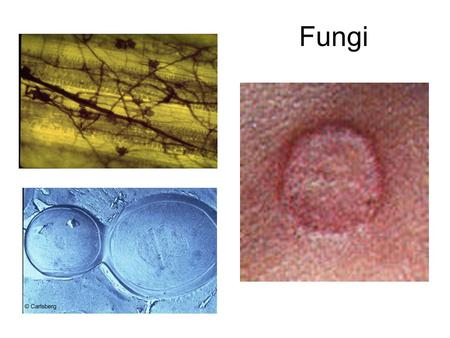 Fungi. FUNGI We have already learned about Bacteria, Viruses, and Protists Now its time to study Fungi MICROBES: 1.Viruses 2.Bacteria 3.Protists 4.Fungi.