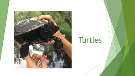 Turtles. General Turtle Info  Reptiles  Two parts to shell: carapace and plastron  20 species found in NC  Completely aquatic, semi-aquatic, and terrestrial.