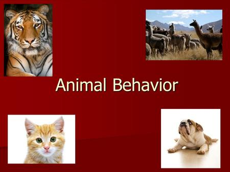 "Animal Behavior. What Are We Going To Learn? Common animal behaviors ""Wild"" animal behaviors Unwanted animal behaviors and how to correct them. Training."