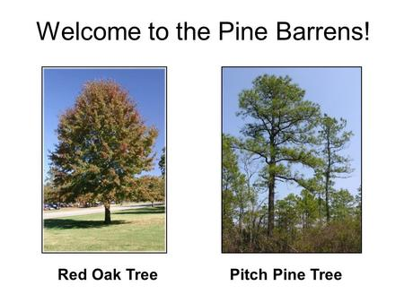 Pitch Pine TreeRed Oak Tree Welcome to the Pine Barrens!