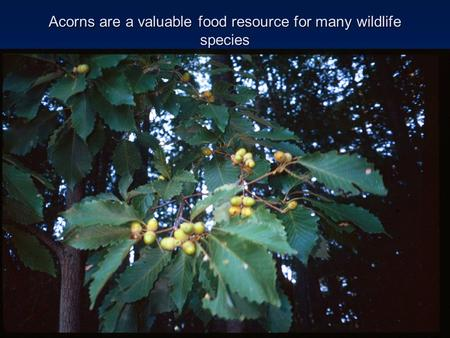Acorns are a valuable food resource for many wildlife species.