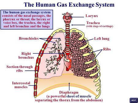 The human gas exchange system consists of the nasal passages, the pharynx or throat, the larynx or voice box, the trachea, the right and left bronchus.