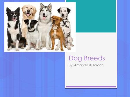 Dog Breeds By: Amanda & Jordan. Australian Cattle Dog  Origin: Australian  Use: Herding  Fun Fact: Nick named Blue Heeler/Red heeler, Based on coat.