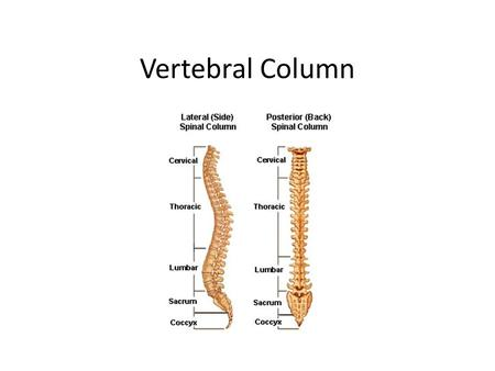 Vertebral Column. Vertebral Column (Spine) Extends from the skull, which it supports, to the pelvis, where it transmits the weight of the body to the.