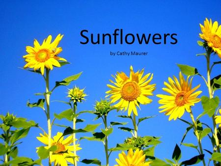 Sunflowers by Cathy Maurer Sunflowers begin as small seeds.