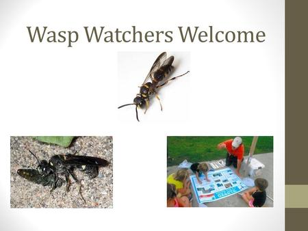 Wasp Watchers Welcome. Presentation Outline Background information Introduction to Wasp Watchers Program National Program successes Local program success.