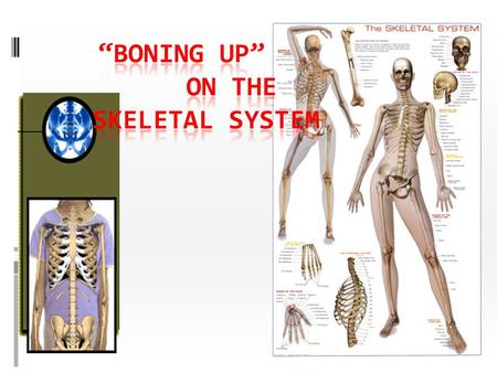 """Boning up"" on the Skeletal System"