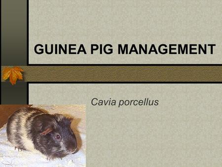 GUINEA PIG MANAGEMENT Cavia porcellus. Origin Cavia porcellus – domesticated Cavia aperia – wild wild – Peru, Argentina, Brazil, Uruguay also known as.