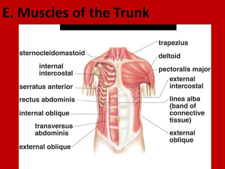 E. Muscles of the Trunk. 1. Muscles of the Thoracic Wall a. intercostals (external/internal) * L: between ribs * A: elevate/depress rib cage (breathing)