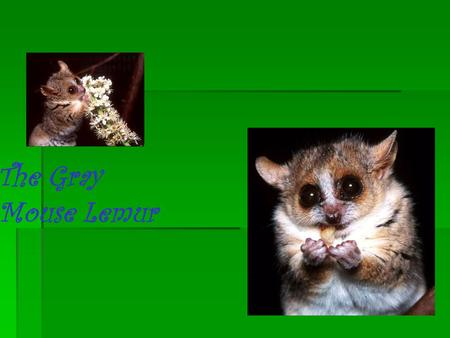 The Gray Mouse Lemur. Who is the Gray Mouse Lemur?  The Gray mouse lemur is a small primate who lives only in the Madagascar forest.  They are 10 to.