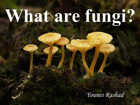What are fungi? Younes Rashad. Agaricus sp. Large and important genus of mushrooms containing both edible and poisonous species. Characterized by having.