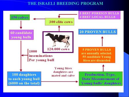 THE ISRAELI BREEDING PROGRAM. 1. 300 elite cows selected based on their genetic evaluations. About ½ of these cows are mated to local elite bulls, and.