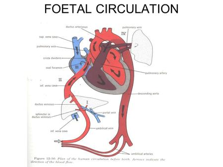 FOETAL CIRCULATION. CIRCULATION AFTER BIRTH EMBRYOLOGY Embryologically, the septum primum separates the two atria first, moving inferiorly toward the.