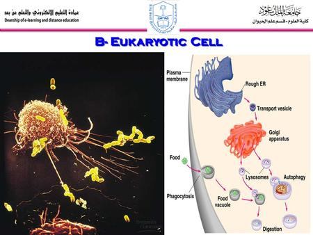 B- Eukaryotic Cell. 3- The Endomembrane System a)The endoplasmic reticulum is a manufacturer membrane and performs many other biosynthetic functions.