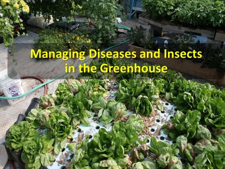 "Managing Diseases and Insects in the Greenhouse. The Greenhouse: A Plant Pest ""Factory"" Most GH plants are susceptible to one or more diseases and pests."
