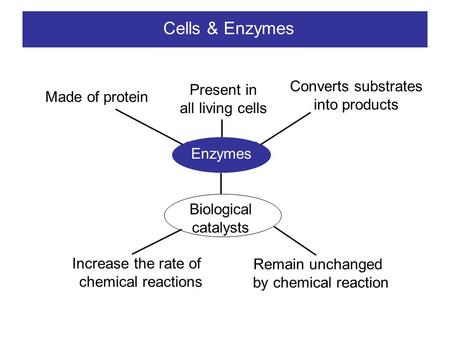 Cells & Enzymes Enzymes Made of protein Present in all living cells Converts substrates into products Biological catalysts Increase the rate of chemical.
