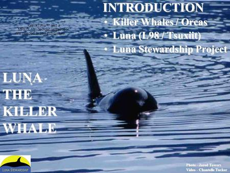 LUNA THE KILLER WHALE INTRODUCTION Killer Whales / Orcas