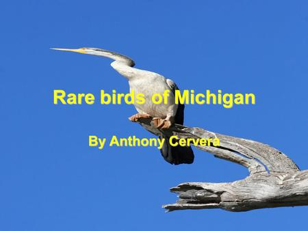 Rare birds of Michigan By Anthony Cervera. Pacific Loon Size: 58-74 cm(23-29 in.).Size: 58-74 cm(23-29 in.). Wingspan: 110-128 cm (43-50 in.).Wingspan:
