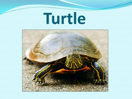 Turtle. General information they are one of the oldest animals on our planet they have existed for over 200,000,000 years can live to be 100 years old.