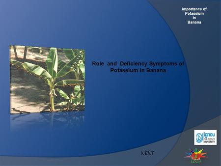 Importance of Potassium in Banana Role and Deficiency Symptoms of Potassium in Banana NEXT.