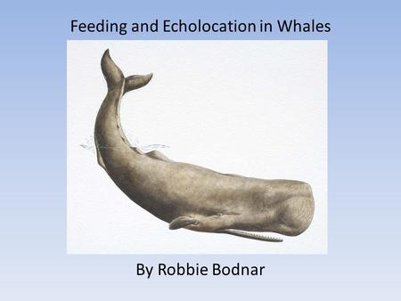 Feeding and Echolocation in Whales By Robbie Bodnar.