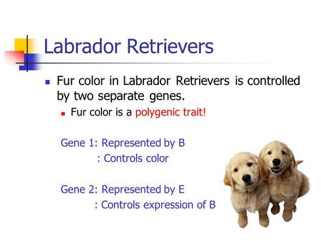 Labrador Retrievers Fur color in Labrador Retrievers is controlled by two separate genes. Fur color is a polygenic trait! Gene 1: Represented by B : Controls.