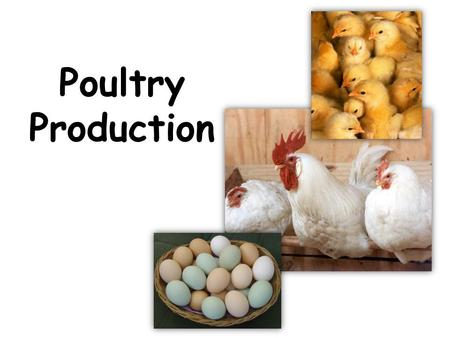 Poultry Production. Poultry Production Objectives: A. Define common poultry terms B. Identify common breeds of chickens C. Compare and contrast broiler.