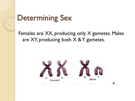 Determining Sex Females are XX, producing only X gametes. Males are XY, producing both X & Y gametes.