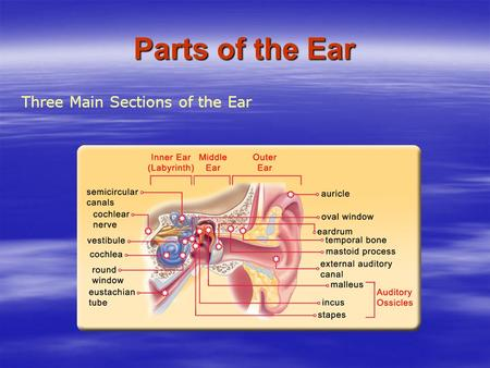 Three Main Sections of the Ear Parts of the Ear. The Outer Ear The outer ear begins with the visible part of the ear, the auricle. The auricle helps channel.