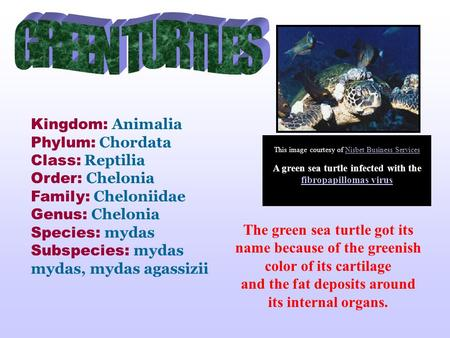 The green sea turtle got its name because of the greenish color of its cartilage and the fat deposits around its internal organs. Kingdom: Animalia Phylum: