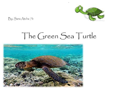 The Green Sea Turtle e By: Sara Atcha 7b. Habitat Green sea turtles move across three habitats, depending on their stage in life. They lay eggs on beaches.