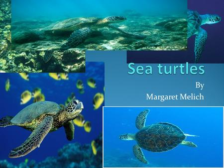 By Margaret Melich.  Sea turtles are reptiles.  Their face is about the size of two golf balls.  Their face and fins look like they have green tiles.