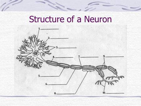 Structure of a Neuron. 1. cell body 2. nucleus 3. dendrites 4. axon 5. Schwann cell nucleus 6. myelin sheath 7. node of Ranvier 8. Schwann cell 9. terminal.