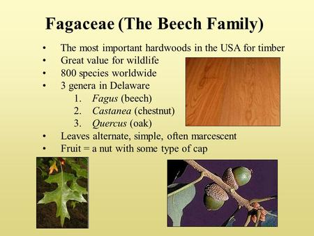Fagaceae (The Beech Family) The most important hardwoods in the USA for timber Great value for wildlife 800 species worldwide 3 genera in Delaware 1. Fagus.