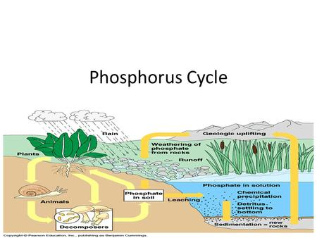 Phosphorus Cycle. Cyclic movement of phosphorus in different chemical forms from the environment to organisms and then back to the environment Phosphorus.