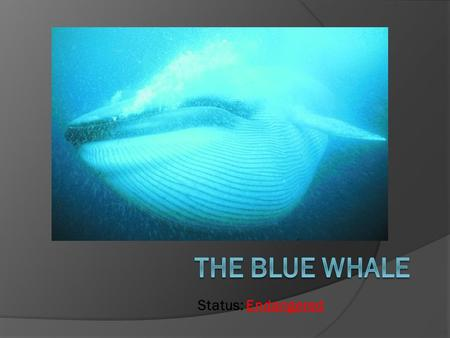 Status: Endangered. About the Blue Whale  The blue whale is the largest animal to ever exist on this planet.  It weighs up to 136,400kg  Blue whales.